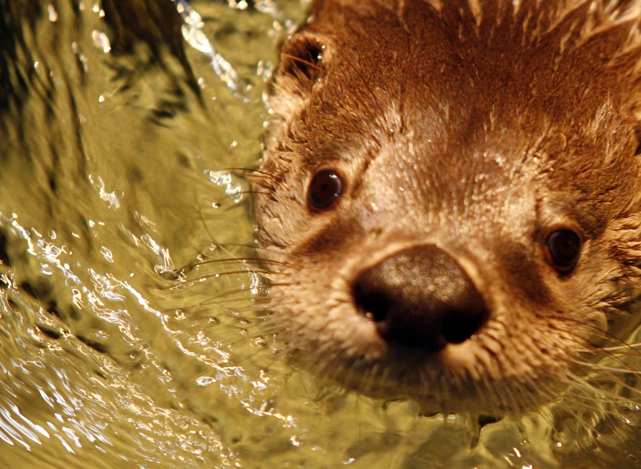Otters at The Wild Center.