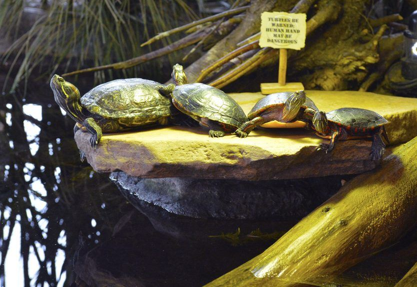 turtles warming on rock